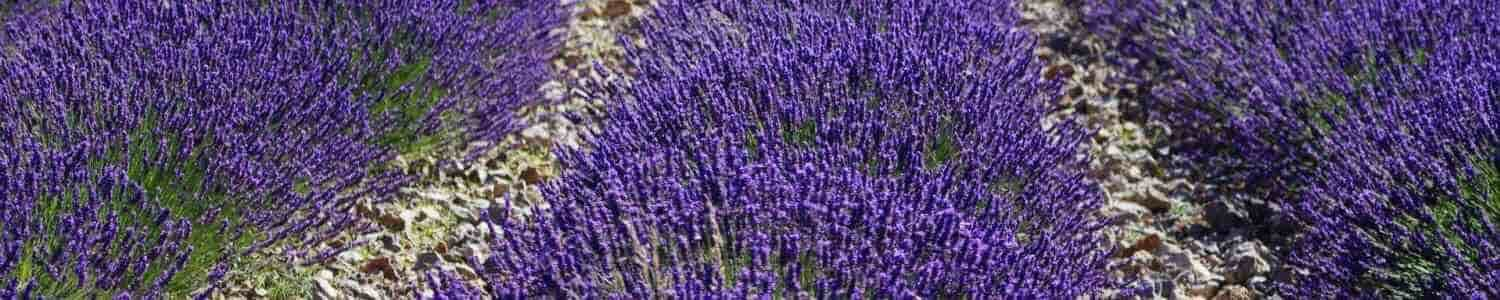 Whitstable Lavender Products online